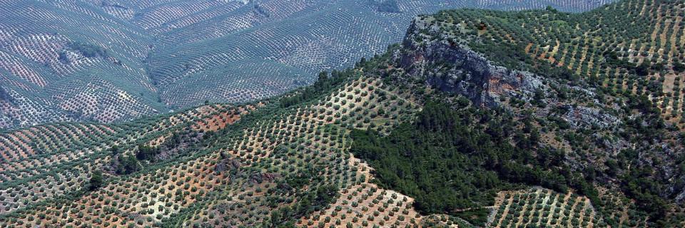 Revisión semanal del estado fitosanitario de tu olivar...